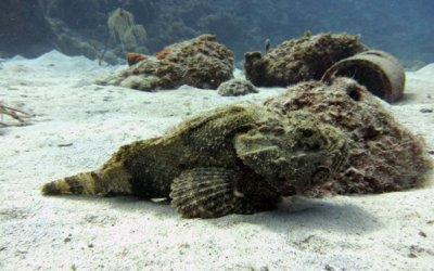 Duiken op curacao stone fish